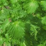 シソの葉の収穫とレシピ