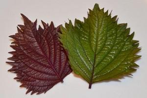 紫蘇の葉の保存方法