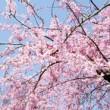 渋谷周辺の桜お花見公園デートスポットと穴場情報