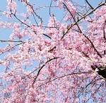 渋谷で花見デートできる公園とおすすめスポット。穴場やカフェも紹介!